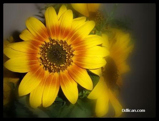 http://www.odlican.com/d/1419-9/suncokretje.jpg