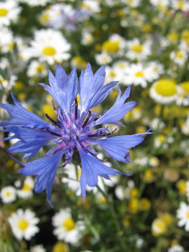 plavi cvetic