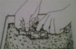 begonija-razmnozavanje