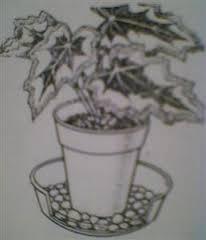 begonija-zalivanje